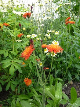 Pilosella x stoloniflora 'Phil Clark'