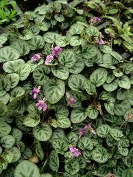 Viola grypoceras var. exilis 'Sylettas'