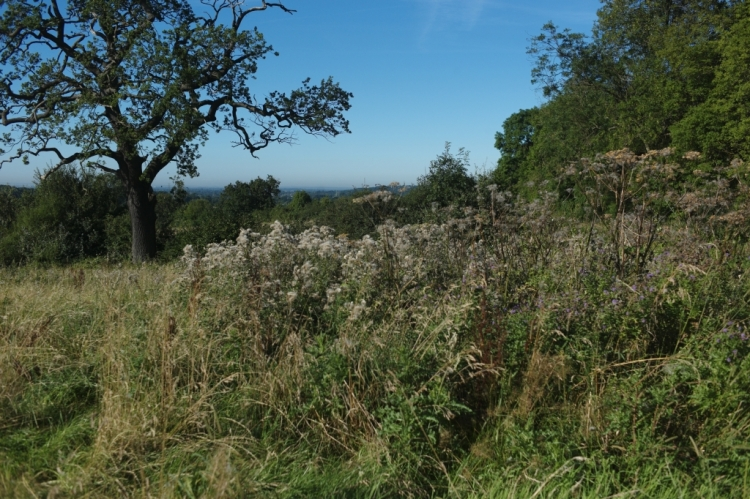 Picture 2: A view of a clump of thistles (Cirsum var) in a sunny field.