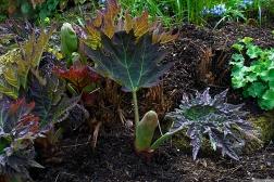 Rheum palmatum 'Tanguticum'