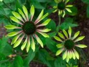 Echinacea 'Green Envy'
