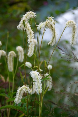 Sanguisorba 'Korean Snow'