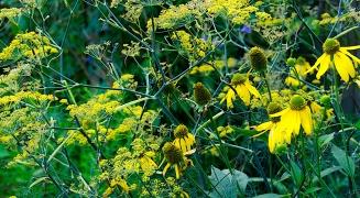 Rudbeckia laciniata 'Starcadia Razzle Dazzle'