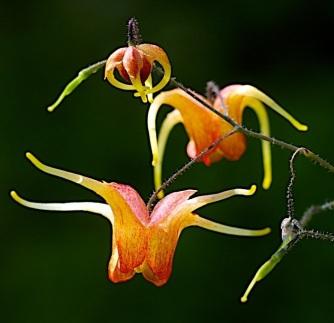 Epimedium 'Amber Queen'