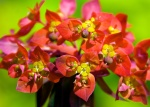 Euphorbia griffithii 'Kings Caple'