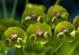 Euphorbia x Martinii 'Helen Robinson'