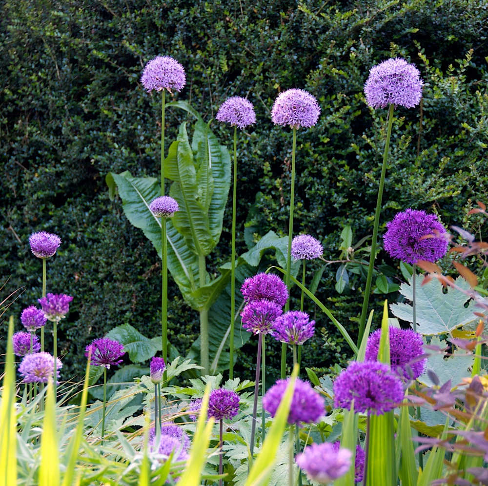 Open Garden in Letchworth, Renata Hume, HHPS and NGS (3/6)