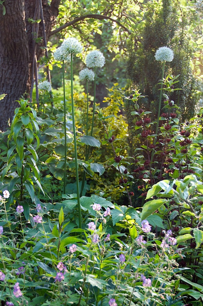 Open Garden in Letchworth, Renata Hume, HHPS and NGS (4/6)
