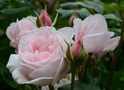 Cottesbrook Roses