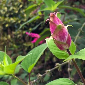 Salvia involucrata Bethellii