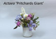 Actaea 'Pritchards Giant'