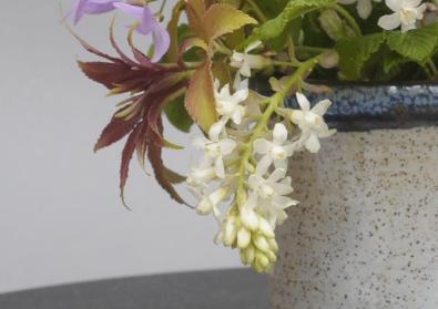 Ribes sanguenium 'White Icicle'
