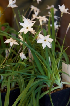 Ipheion 'Alberto Castillo'