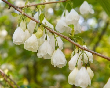 Halesia carolina (Snowdrop tree)