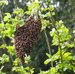 Bee 'beard' swarm
