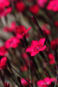 Dianthus 'Flashing Lights'