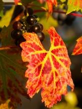 Vitis vinifera 'Brandt'