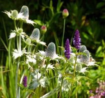 Eryngium giganteum with Agastache 'Black Adder'