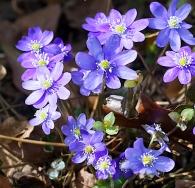 Diana Garner's Garden - Hepatica nobilis