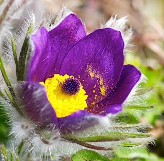 Diana Garner's Garden - Pulsatilla vulgaris