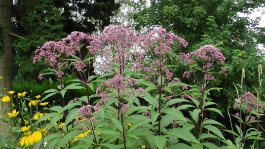 eupatorium-s2000009-original