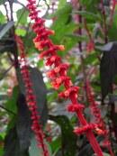 salvia-confertiflora-redvelvetsage